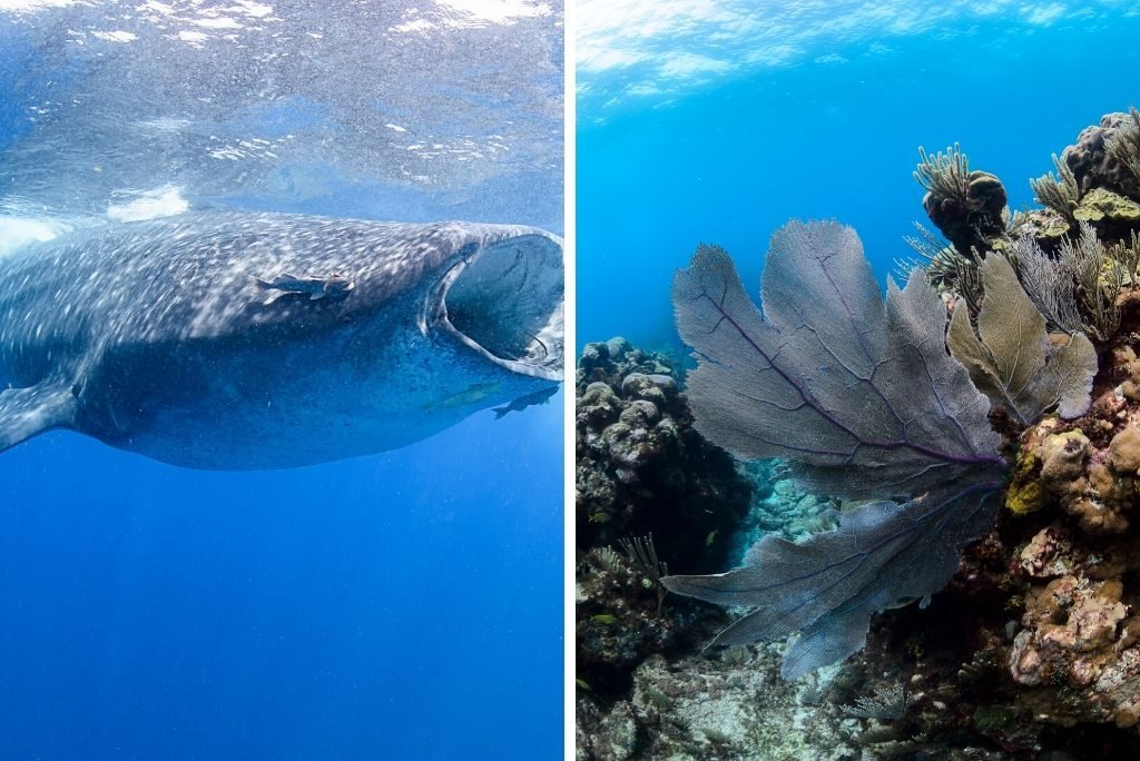 Whale Sharks - Things to Do in Isla Mujeres Mexico