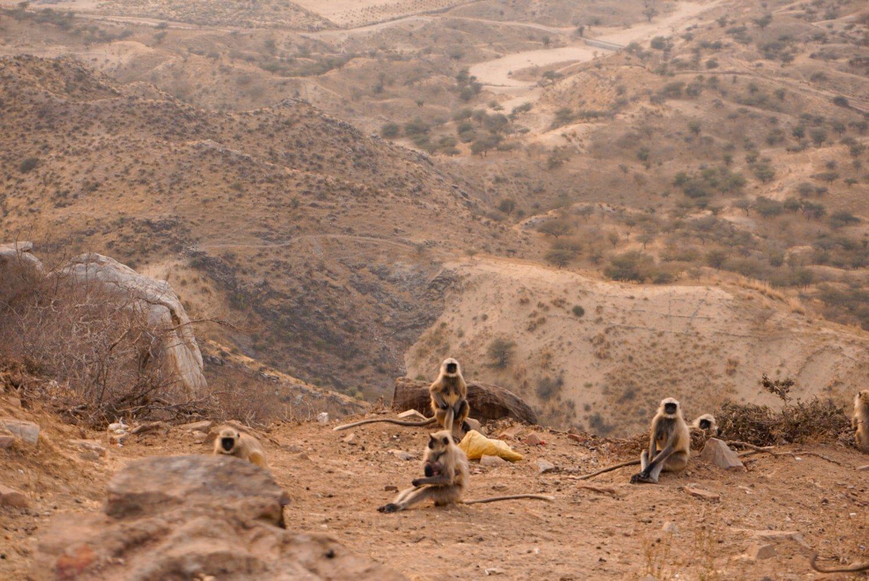 monkeys at savitri mata temple in pushkar | one day in pushkar