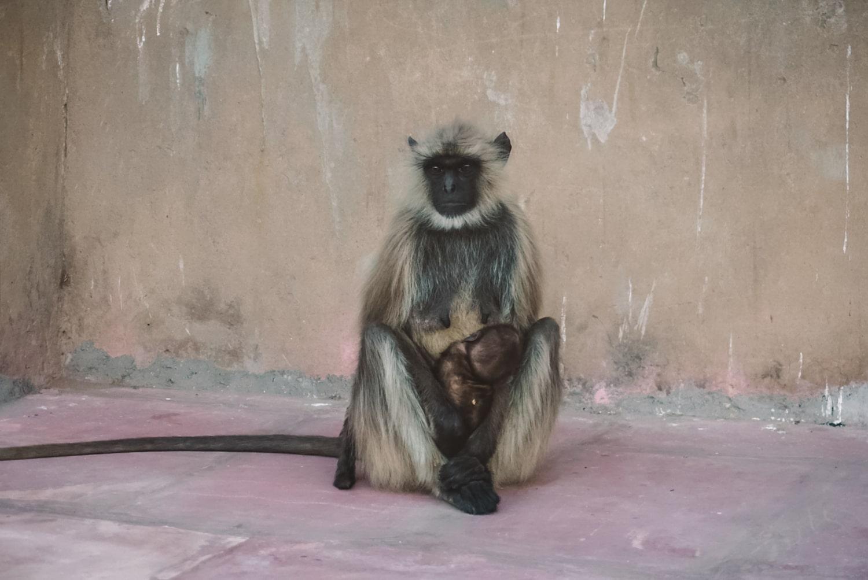 monkey holding baby at savitri mata temple in pushkar rajasthan india