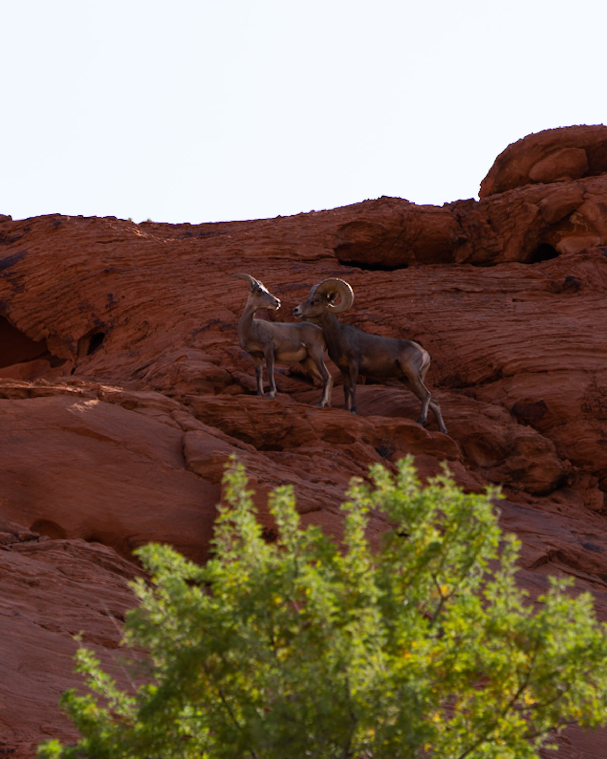 Bighorn Sheep in the Valley of Fire State Park