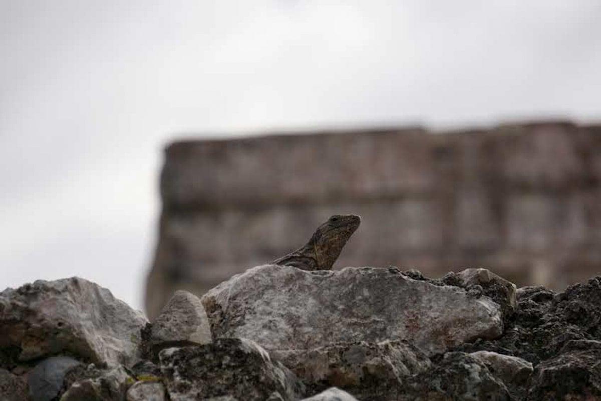 iguana on mayan temple inside tulum ruins site