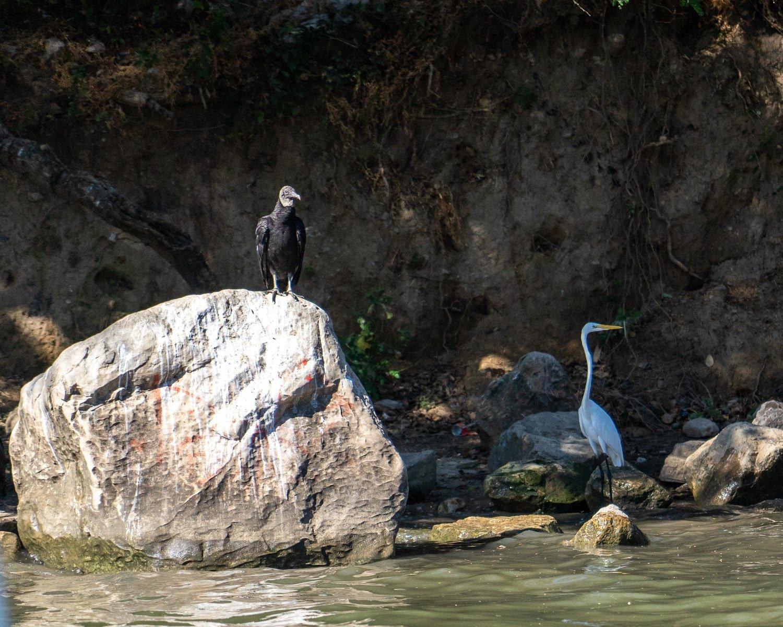 buzzard and white crane in canon del sumidero