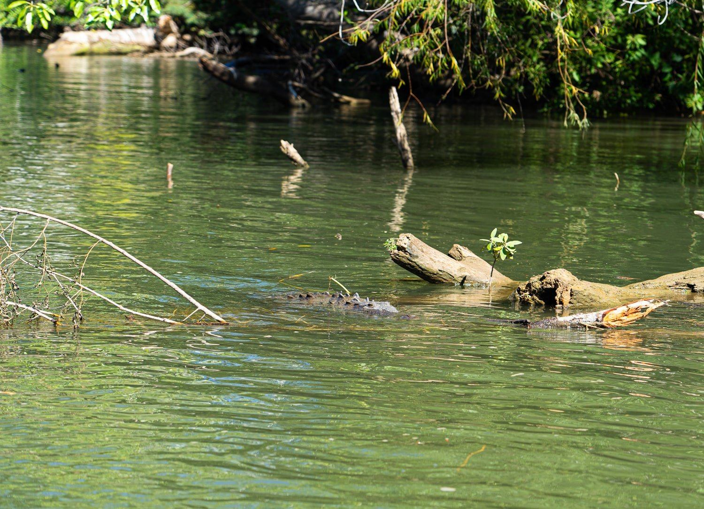 River crocodile in Grijalva River in Sumidero Canyon